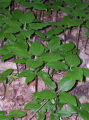 Group of Croomia pauciflora (Croomia) plants