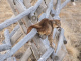Juvenille Mountain lion on a fence