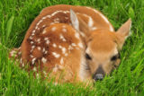 White-tailed Deer fawn laying in grass