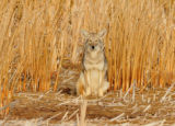 Coyote in the cattails
