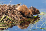 Common Muskrat pair