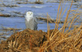 Snowy Owl at Sand Lake NWR