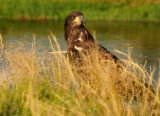 Juvenille Bald eagle