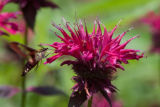 Snowberry clearwing feeds on Monarda