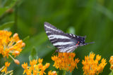 Zebra Swallowtail feeds on Butterfly Weed