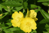 Fly hovering over evening primrose