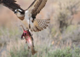 Osprey carrying a Rainbow trout