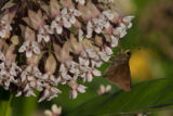 Skipper butterfly feeds on milkweed