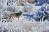 Coyote in hoar frost