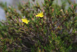 Mountain golden heather blooms
