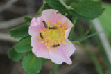 Syrphid flies on a Wild prairie rose