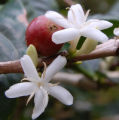 Coffee flowers and a prematurely ripe bean