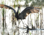 Sandhill crane versus an alligator