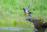 Wood duck taking off from log