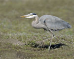 Great blue heron mousing