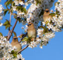 Several cedar waxwings in a tree