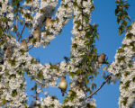 Several cedar waxwings sitting in a tree