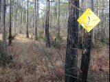 Flatwoods salamander habitat/pond, Ambystoma cingulatum. Fire is necessary to promote habitat...