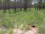 Gopher tortoise burrow and habitat (Gopherus polyphemus)