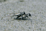 Northeastern Beach Tiger Beetles