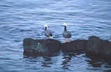 Emperor Geese on Rock
