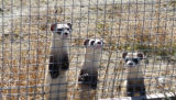Black-footed Ferrets in preconditioning pens