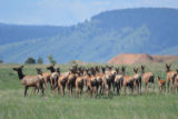 Elk herd at National Trails Day opening ceremony