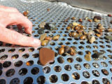 Freshwater mussels on sorting table