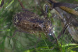Hine's emerald dragonfly larvae in shallow water