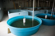 Round hatchery tanks