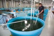 Biologist cleans Lake sturgeon tanks