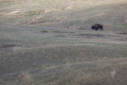 Lone bison in the landscape