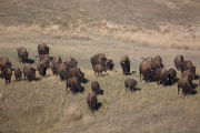 Bison herd runs