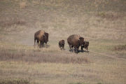 Bison cow and calves run
