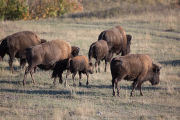 Bison herd walks in the bison range