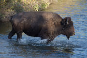 Bison crosses Mission Creek