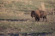 Bison bull in landscape