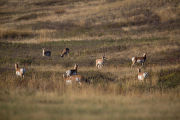 Pronghorn Antelope family group