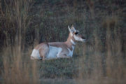 Pronghorn Antelope doe at rest
