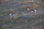 Pronghorn Antelope bucks fight