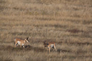 Pronghorn Antelope bucks with vegetation on their horns