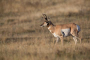 Pronghorn Antelope buck with vegetation on horns