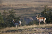 Pronghorn Antelope buck and doe in landscape