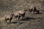 Bachelor group of rams walk a hillside