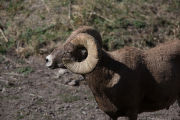 Rocky Mountain Bighorn sheep close-up