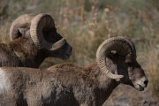Two rams near water hole