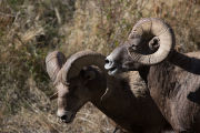 Two rams near a water hole
