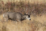 Mule deer buck feeds in grasslands