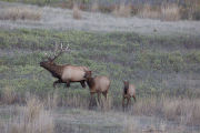 Bull Elk, cow and calf