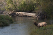 Bull Elk in Mission Creek